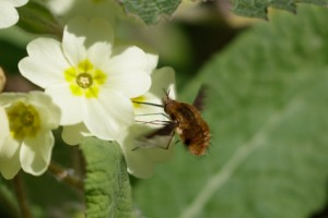 Primrose with a Bee-fly. A what-the-who?